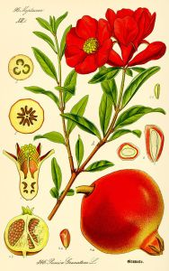 640px-Illustration_Punica_granatum2
