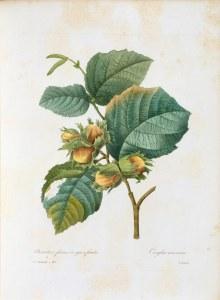 Die gemeine Hasel. Gehört zu den Birkengewächsen, daher auch die Ähnlichkeit bei den Kätzchen-Blütenständen.